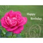 pink rose b012