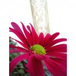 chrysanthemum g004