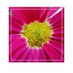chrysanthemum g005
