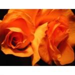 roses g014