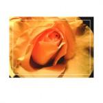 roses g015