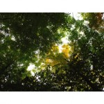 tree canopy g017