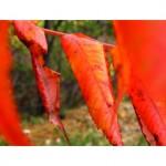 sumac leaves g022