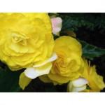 yellow begonias g074