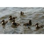 ducklings g084