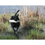 black labrador retriever g110