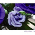 blue roses m001
